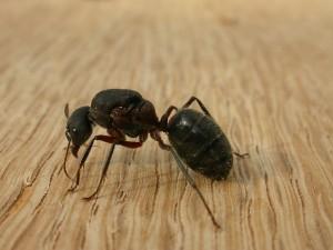 Camponotus_sp-Carpenter-ants