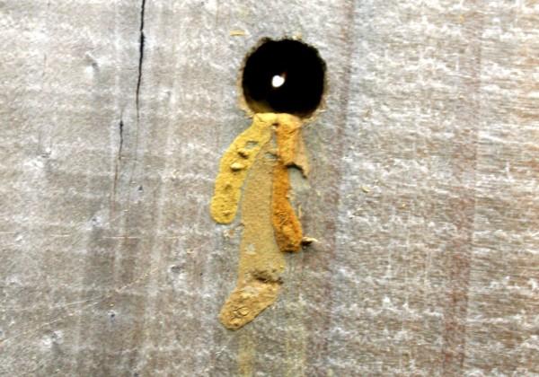 carpenter bee nest, dig hole