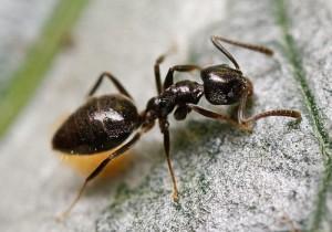 odorous-ant